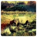 Marsh Cow