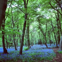 Bluebells of Chalet Wood